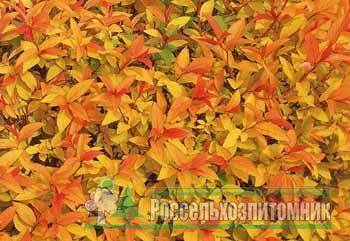 Спирея Голдфлейм 36 фото описание спиреи японской Goldflame посадка и уход использование кустарника в ландшафтном дизайне