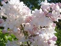Сирень красавица москвы посадка и уход в открытом грунте